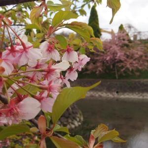 京都の淀水路へ河津桜を見に行ってきた