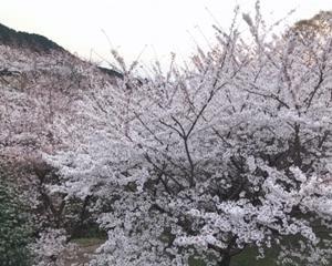 桜と「お寺ヨガ」