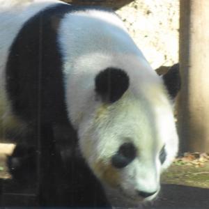 親離れのパンダのシャンシャンの背中を見つめて☆上野動物公園