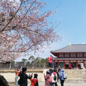 平成最後、奈良公園の桜(2)。