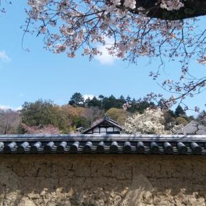 平成最後、奈良公園の桜(3)。