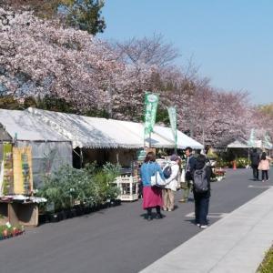 大阪城公園の桜、見頃。