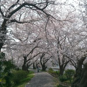 藤原宮跡、満開の桜と菜の花。