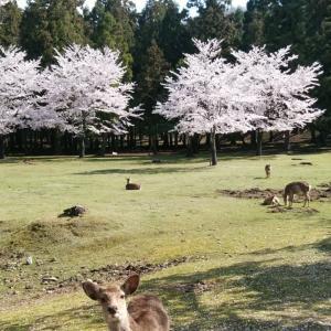 平成最後、奈良公園の桜(4)。