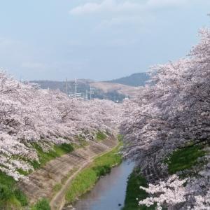 佐保川と平城宮跡の桜。