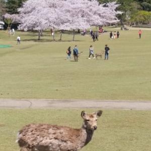 平成最後、奈良公園の桜(6)。
