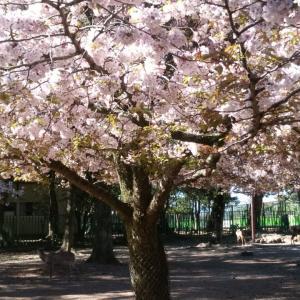 平成最後、奈良公園の桜(7)。