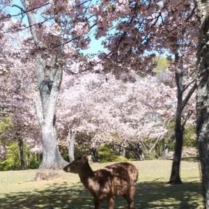 平成最後、奈良公園の桜(9)。