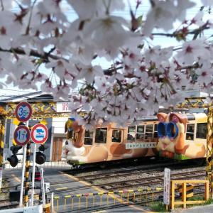 生駒/ご近所の桜。