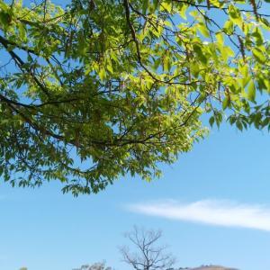 奈良公園、残り桜と新緑(2)。