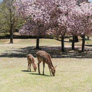 奈良公園、残り桜と新緑(3)。