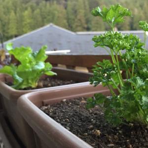 スッキリ~ / ベランダで野菜を育てる楽しさ