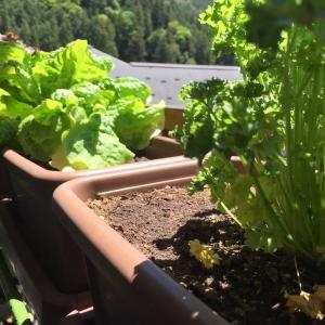 ズボラ菜園でエンドレス野菜