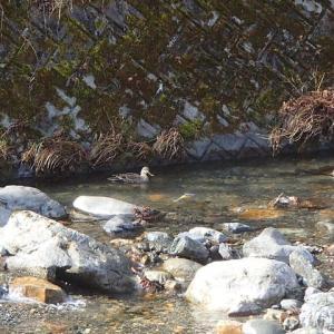 2年振りの桂川水系は鴨の川になっていた!