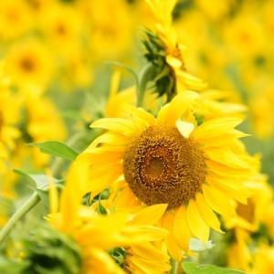 元気印の向日葵