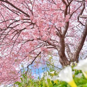 開花する河津桜&伊豆クレイル♡心がほぐれるひととき♡