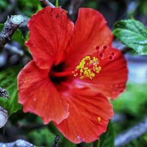 たくさんハイビスカスの花を咲かせよう!