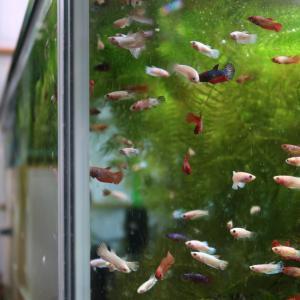 ベタ稚魚ウジャウジャ & 水槽部屋の現状と今後の予定