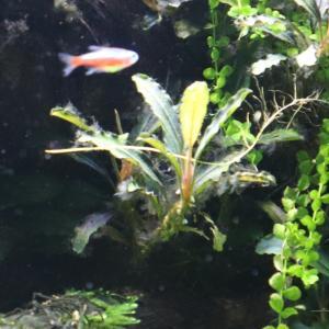 【ヤマト最強】120センチ水槽にヤマトヌマエビ50匹入れたらヒゲゴケが消えてブセが輝いています。