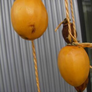 2019・干し柿作り(その7)~そろそろ干し柿のシーズンも終わりだなぁ~