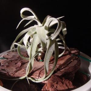 streptophylla  ストレプトフィラ 3号 の成長です