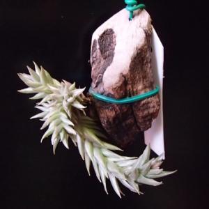 brealitoensis ブレリトエンシス 出て来ました花芽、、