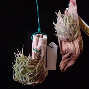 sprengeliana スプレンゲリアナ 出て来ました花芽、、
