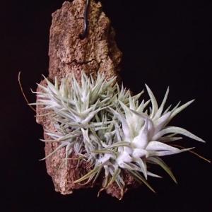 秋の夜長の van-hyningii small form バンハイニンギー スモールフォーム