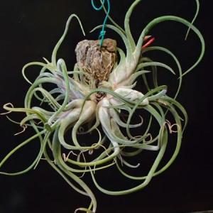 caput-medusae カプトメドゥーサエ 出て来ました