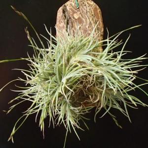 bandensis バンデンシス 花芽出て来てます、、