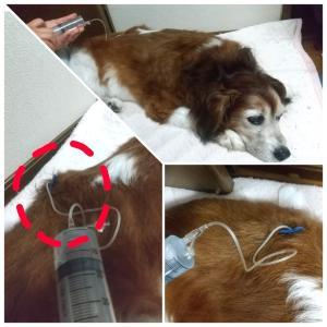 看板犬・ジャックの慢性腎不全経過 Part4~初めての在宅点滴編~