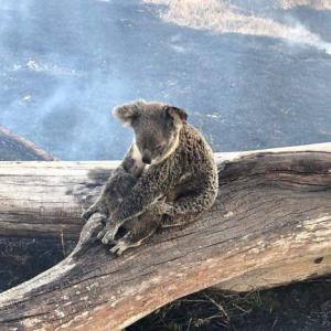 ブッシュファイヤーでコアラもカンガルーも。。。