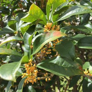金木犀の香る秋ですね!桂花茶(きんもくせい茶)割はいかがですか?@神戸・東川崎交差点角