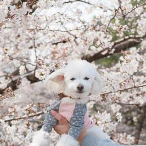 光が丘公園の桜さんぽ
