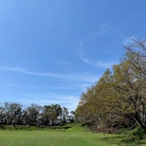 佐倉城址公園 9月終わり 桜の倒木