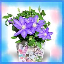 母の日のプレゼントは青いクレマチス(鉄仙・鉄線:テッセン)