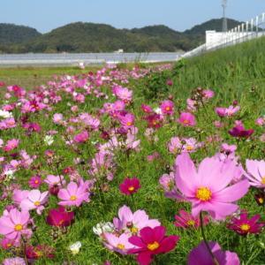 コスモスの散歩道にコスモスの花が開花しました