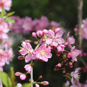 ニワザクラの開花