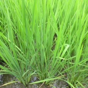 稲の14葉芽が出ました ・・・  止葉です