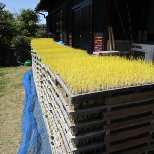 稲の苗の緑化