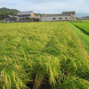 台風通過後の稲の様子