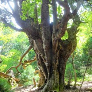 赤崎中尾根 (3) ~まとめ : 杉の巨樹が林立する尾根~