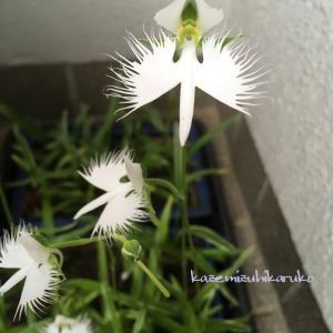 サギ草・烏瓜の花・葛花と酵母ジュース