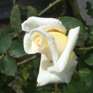 bara 薔薇 バラ