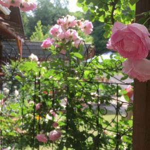 オープンガーデンは薔薇満開
