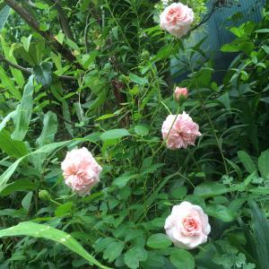涼しくなったら 正直ですね あなたの好きな薔薇が咲きましたよ
