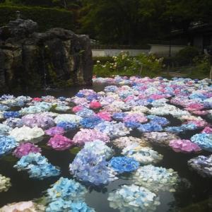 絵日記:紫陽花・・・!