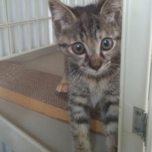 【拡散希望】pipiちゃん、小さいのに頑張り屋の子猫、家族募集中