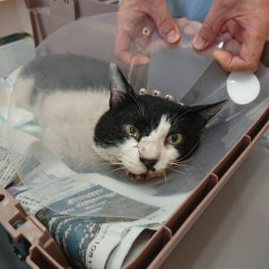 【拡散希望】エイズ猫よね君、家族募集中~千葉市センター収容中