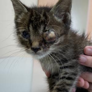 【拡散希望】左目をなくした子猫♂ガラ君の家族募集中!千葉市センター収容中